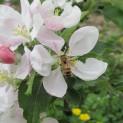 Fioritura 2013, le api al lavoro